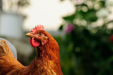 Red Chicken in the Garden