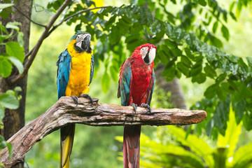 colorful macaws bird