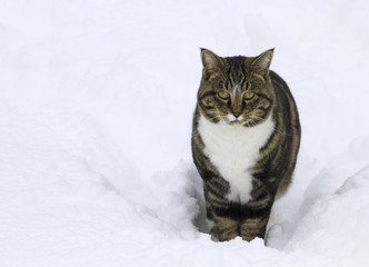 Male tabby house cat with unhappy face in snow