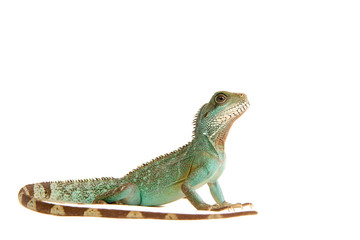 Wasseragame Leguan Eidechse Lizzard Reptil Wall mural
