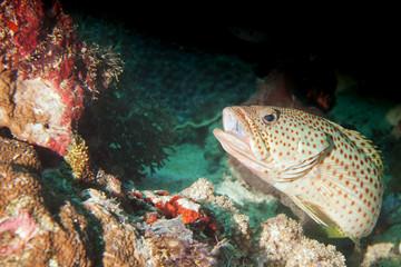 A grouper close up portrait in Raja Ampat Papua, Indonesia