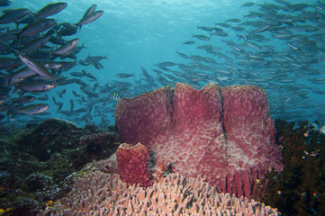 A Giant sponge in the blue background Raja Ampat Indonesia