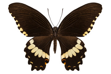 brown papilio butterfly
