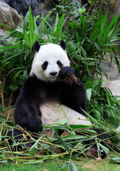 Wall Mural - giant panda eating bamboo