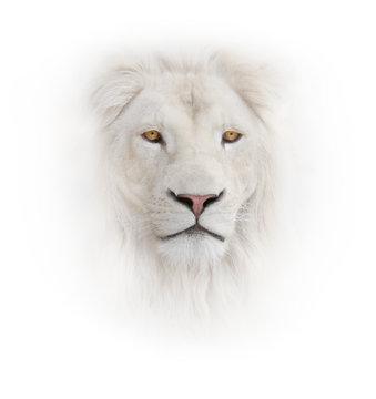white lion on the white background