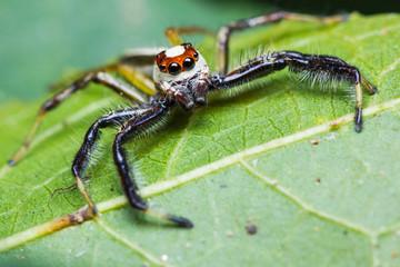 Telamonia Dimidiata jumping spider