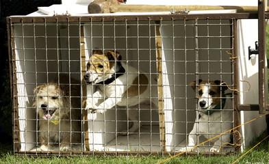 Terrier racing - the excitement mounts