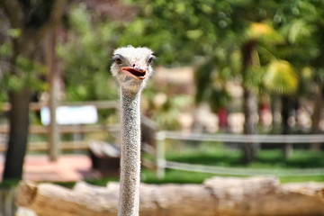 ostrich with curious look