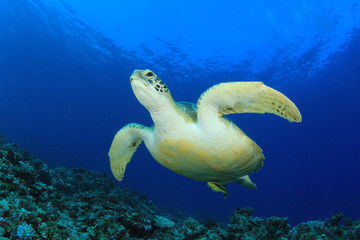 Green Sea Turtle swims over coral reef in ocean