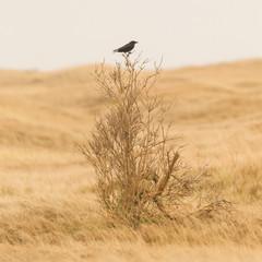 Single crow