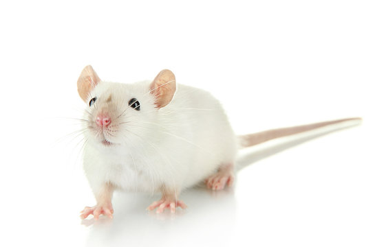 funny little rat, isolated on white