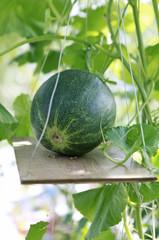 greenhouse melon