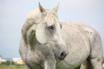 White horse portrait at the grazing