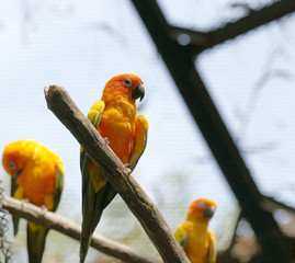 Parrots (Aratinga solstitialis)