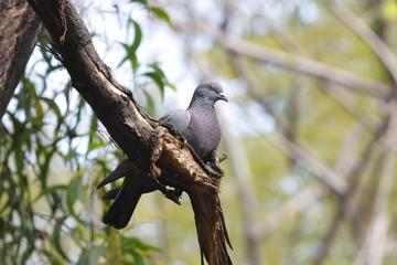 Rock pigeon Rock dove Columba livia