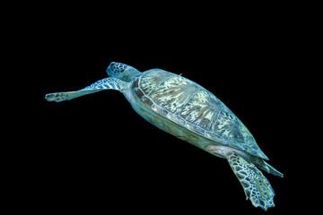 Schildkröte freigestellt auf Schwarz