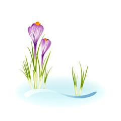 Spring crocuses growing through snow. Vector eps10 illustration