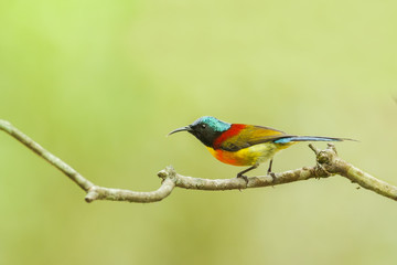 Green-tailed Sunbird on the branch from Doi inthanon, thailand
