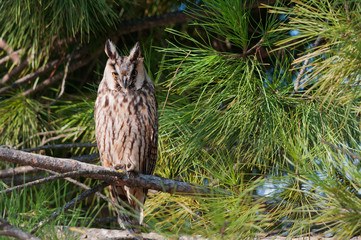 A long-eared owl (Asio otus) perched on an umbrella pine tree.
