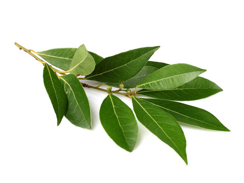 Branch of laurel