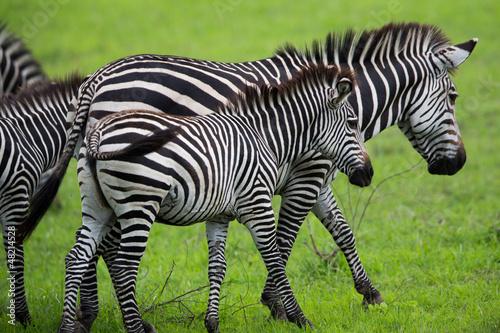 Wall mural Zebra Grazing on grass