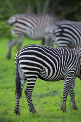 Wall Mural - Zebra backs