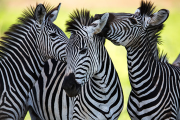 Aluminium Prints Zebra Zebras kissing and huddling