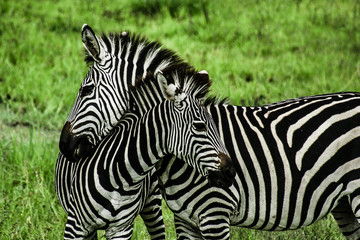 Zebras over green background in Zambia