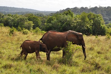 Red elephants at Shimba Hills, Kenya