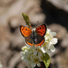 orange Butterfly on flower