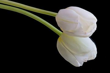 Tulipe blanche sur fond noir