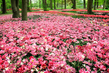Aluminium Prints Candy pink Field of tulips in the spring park.