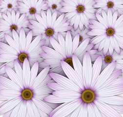 Field of purple daisy flowers.