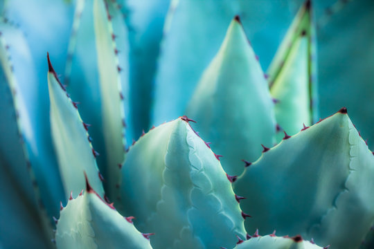 Sharp pointed agave plant leaves bunched together.