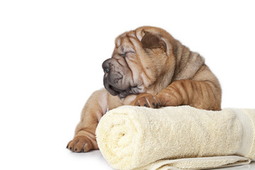 Sharpei Puppy with a towel