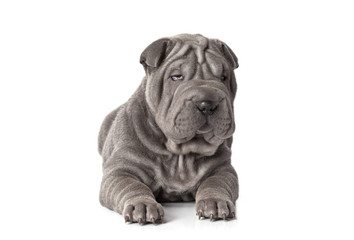 Beautiful sharpei puppy