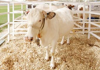 A white cow