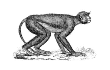 Monkey - Miocene (Mesopithecus)