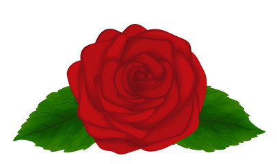 Beautiful rose with leaves isolated on white background