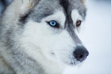 Papier Peint - Siberian husky dog closeup portrait