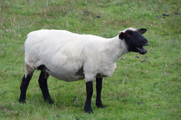 A bleating sheep on the pasture