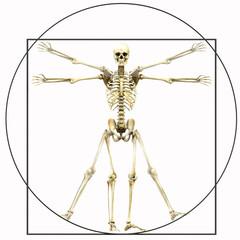 homo vitruvianus, das vitruvianische Skelett