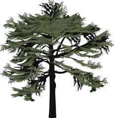 isolated large green pine tree