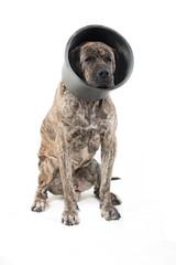 Big dog in medical plastic collar