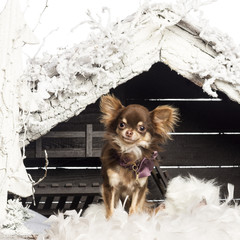 Chihuahua sitting in front of Christmas nativity scene