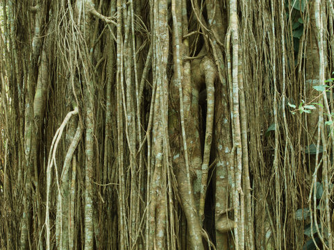 Strangler Fig, Curtain Fig