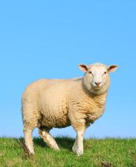 Sheep standing on seawall