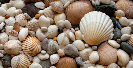 Sea Shells Seashells! - scallop and assorted shells / pebbles