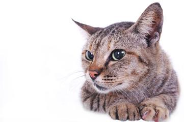 Big pupil old cat.