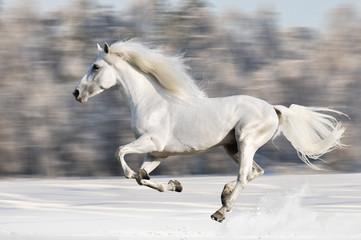 White horse runs gallop in winter, blur motion